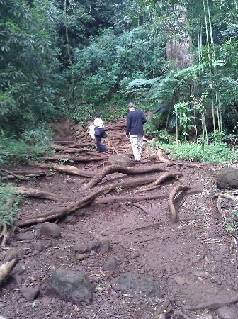 Manoa Falls: The middle 1/3rd of the trail