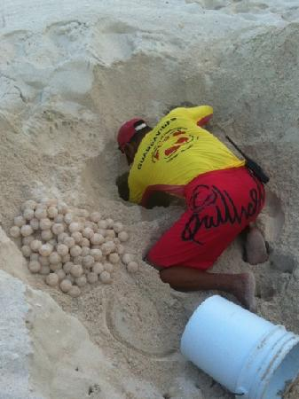 Sun Palace: Digging baby turtle eggs up daily