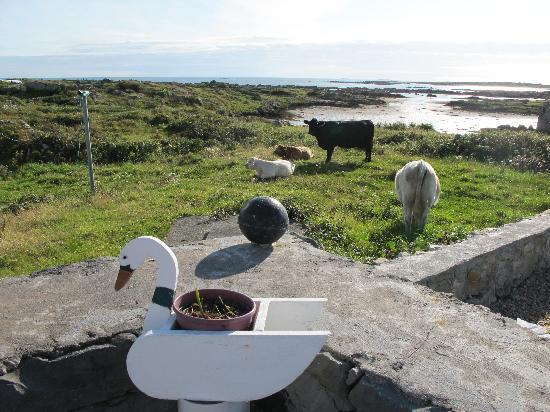 Sea-side B and B : La vue du jardin, sur les vaches de la soeur de Maureen !