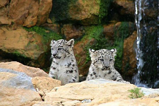 Atherstone, UK: Snow Leopard cubs, Twycross Zoo
