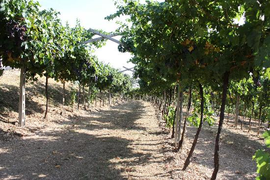Veneto Italy and Wine: The vines at Fratelli's
