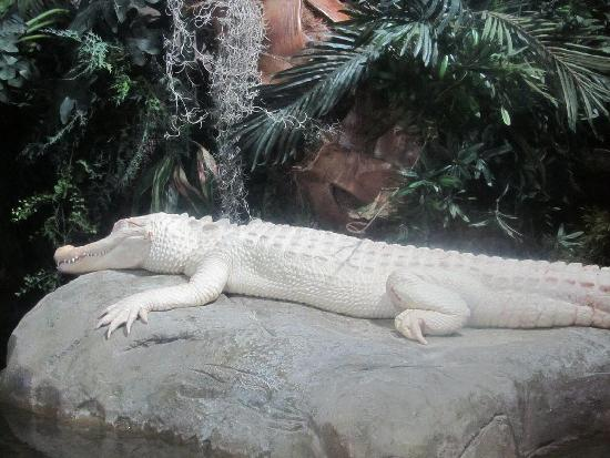 Georgia Aquarium: Albino alligator