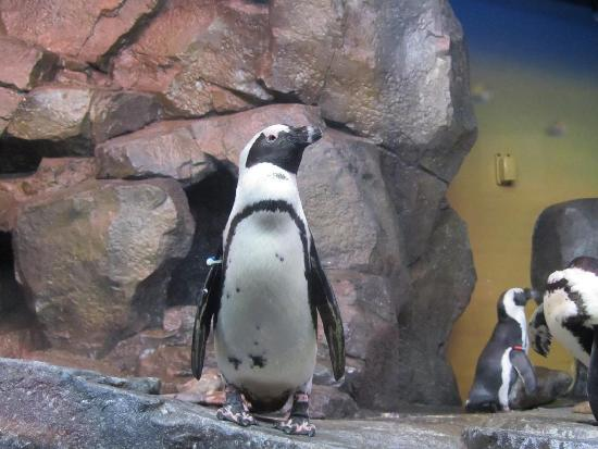 Georgia Aquarium: Penguin exhibit