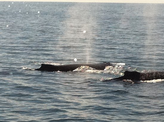 Cat Balou Cruises: Humpbacks just off the starboard bow