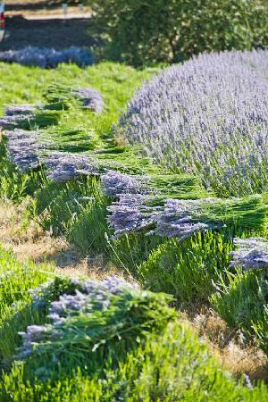 Highland Springs Resort and Conference Center: Freshly hand  harvested lavender