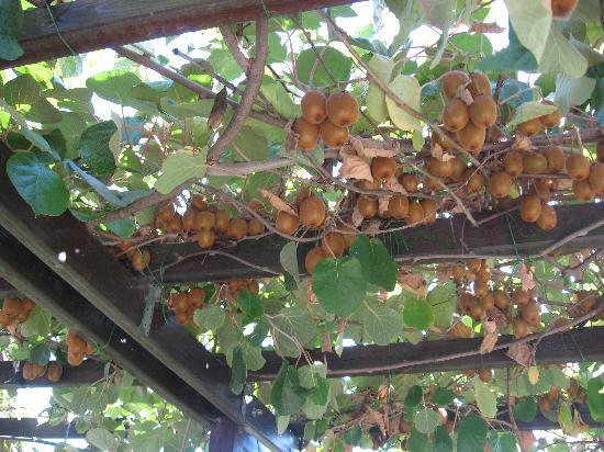 Vignale Monferrato, Italy: kiwipergola
