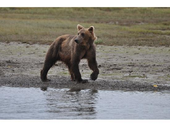 Alaska Bear Adventures: Looking out for salmons