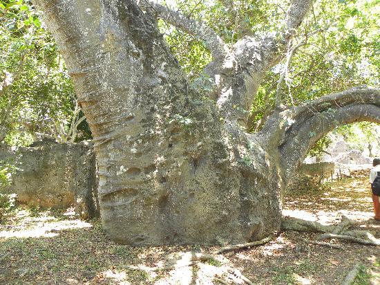 Jumba la Mtwana: baobab