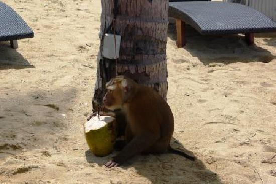 เจดับเบิ้ลยู มาริออต เขาหลัก รีสอร์ท แอนด์ สปา: the monkey helping to ripe the coconut from the trees on the beach occasionally