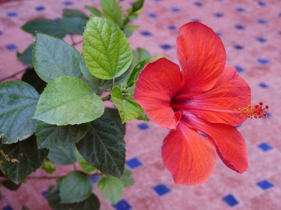 Zaghro Hotel: hibiscus