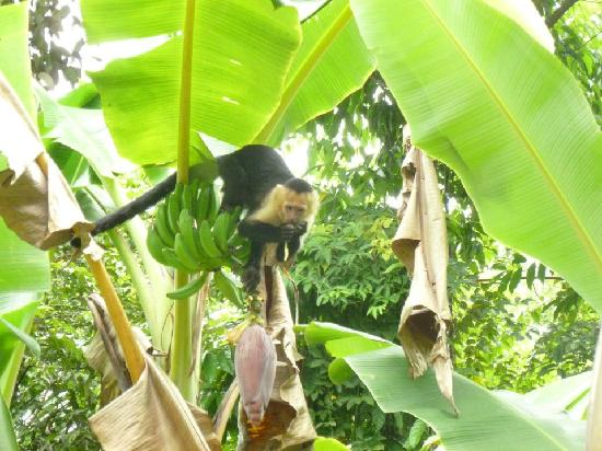 Jungle Villa: Titis in the banana trees near the carpark