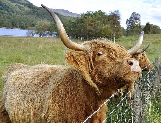 The Hairy Coo - Free Scottish Highlands Tour: The Hairy Coo