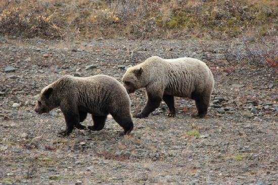 Denali: 2 Grizzlies