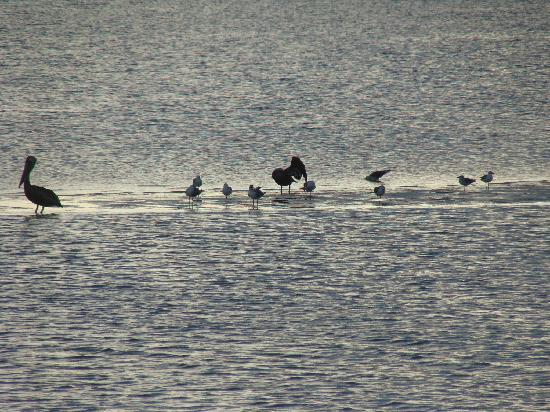 Fort Myers Princess: pelicans at feeding time