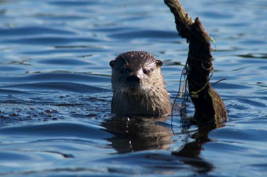 Chepu Adventures: An otter checks us out