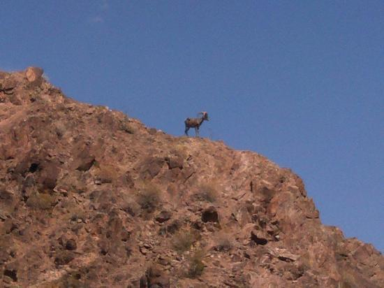 Desert Rats: We saw bighorn sheep and a bald eagle along the river