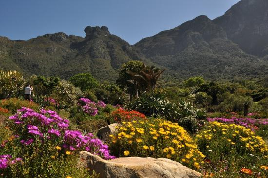 Newlands, Afrique du Sud : Vygie beds in spring