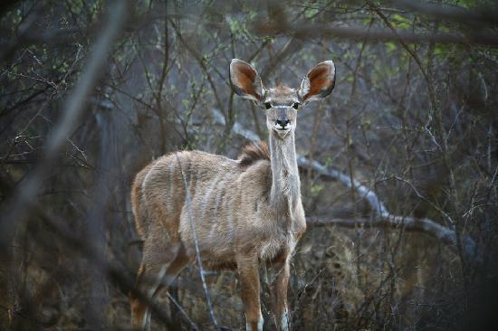 Nungu Game Lodge: Nungu Kudu