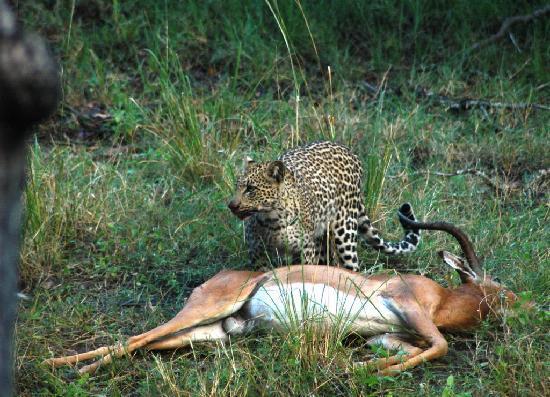 Nungu Game Lodge: Nungu Leopard