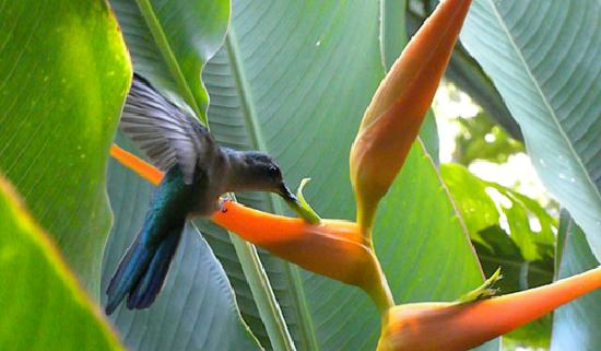 Table Rock Jungle Lodge: Hummingbird at the Dining Room