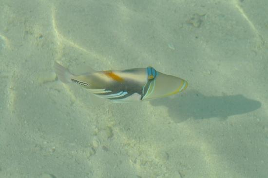 บันโดส ไอแลนด์ รีสอร์ท: poisson