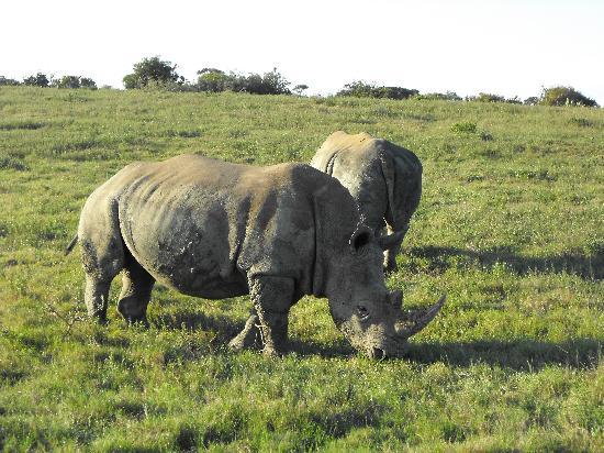 Kariega Game Reserve - River Lodge: Rhino