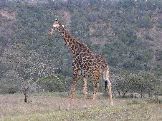 Kariega Game Reserve - River Lodge: giraffe