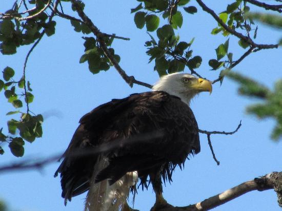 Cabot Trail : A bald eagle.