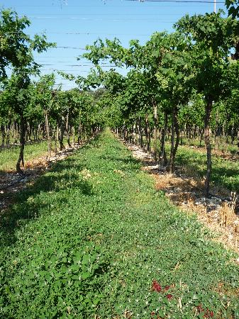 Agriturismo ai Ciliegi: the vineyard nex to the pension