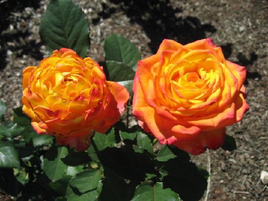 International Rose Test Garden: Rose 1