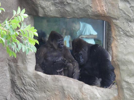 Zoo Miami: Gorilla