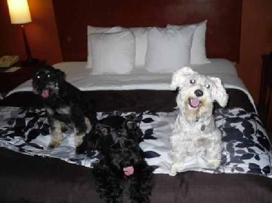 Sleep Inn & Suites Scranton Dunmore: Pups liked the duvet cover.