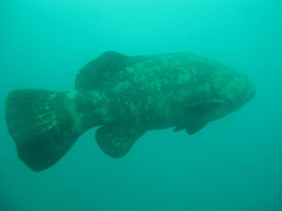 Vandenberg Wreck: Goliath Grouper that lives on Vandenberg
