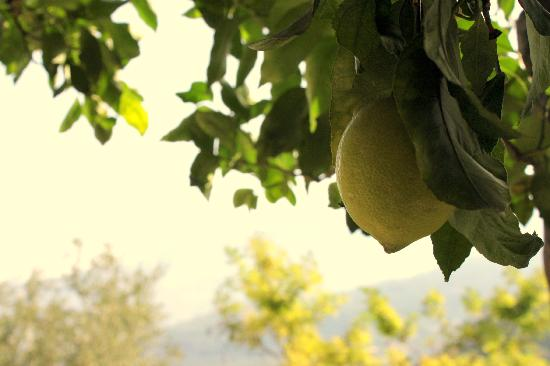 Casarufolo Paradise: Fresh lemons in their garden.