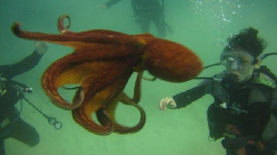 Oahu Diving: Octopus