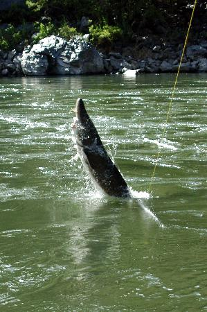 Snake River Adventures: Sturgeon Jumping On The Line