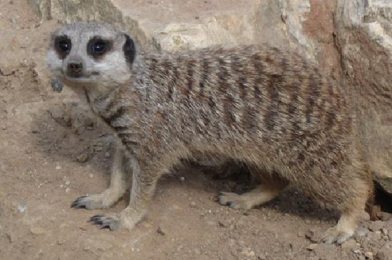 Doncaster, UK: Meercat
