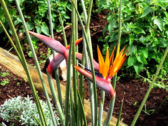 Kirstenbosch National Botanical Garden: The usual Bird of Paradise flower