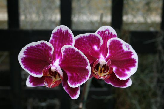 Howard Peters Rawlings Conservatory and Botanic Gardens of Baltimore:                   One of the orchids