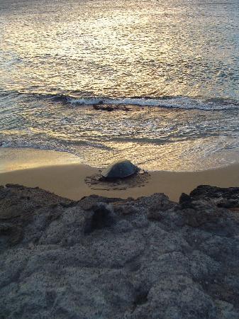 Kaleialoha Condominiums: Swim with Turtles