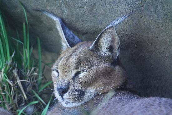 Oregon Zoo: Caracal