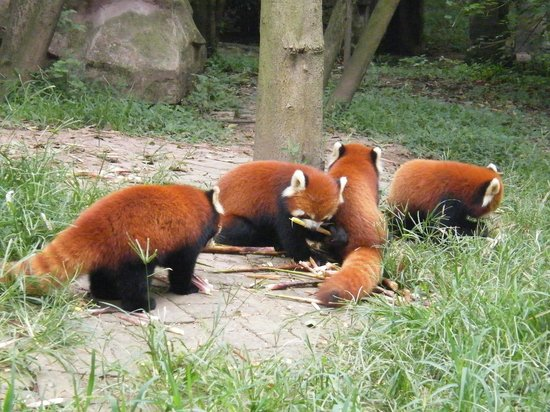 Giant Panda Breeding Research Base (Xiongmao Jidi): Panda