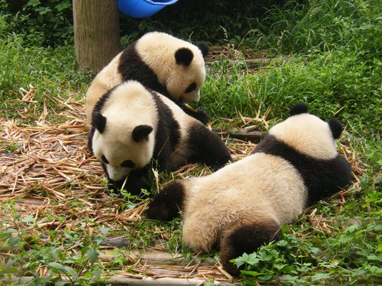 how to get to chengdu panda research base