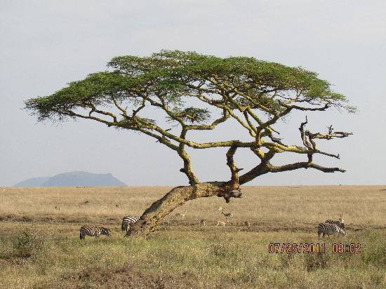 Serengeti National Park, แทนซาเนีย: Umbrella Acacia