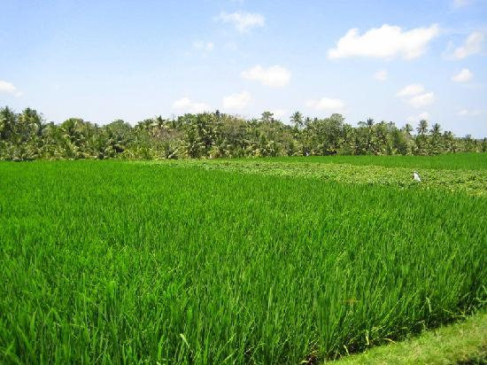 Banyan Tree Bike Tours: rice field