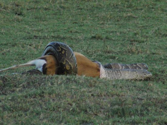 Governor's Camp: hungry snake
