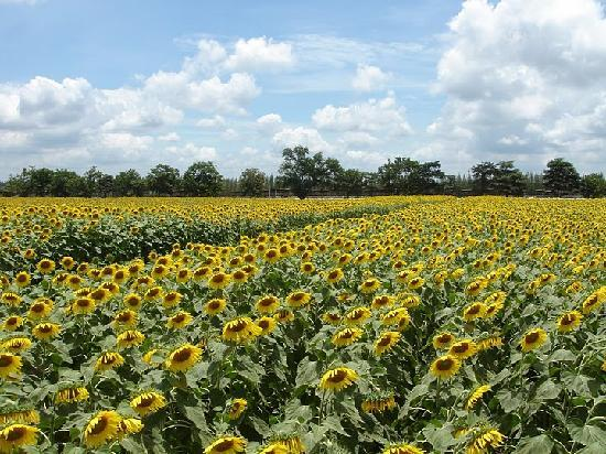 ฟาร์มโชคชัย: Field of sunflowers at Farm Chokchai