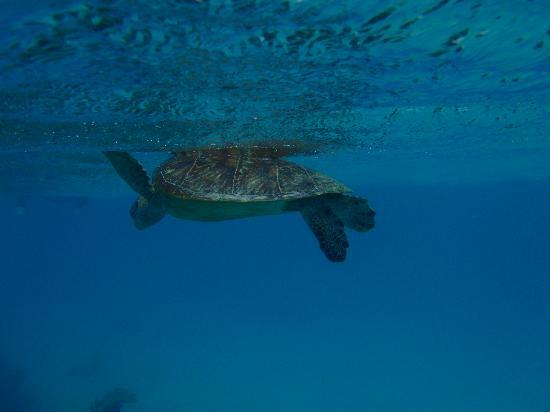 Ocean Safari: HEAPS of turtles
