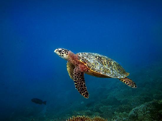 Mirihi Island Resort: turtle on the house reef