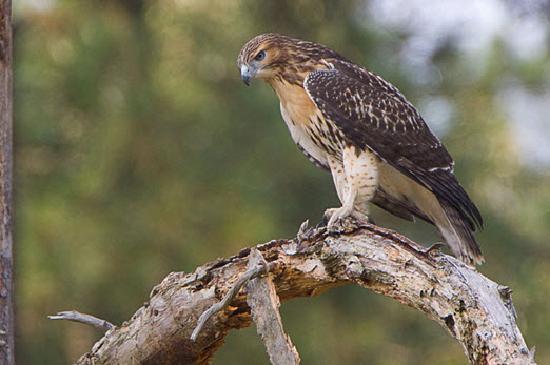Woodland Hawk Picture Of Four Oaks North Carolina Coast